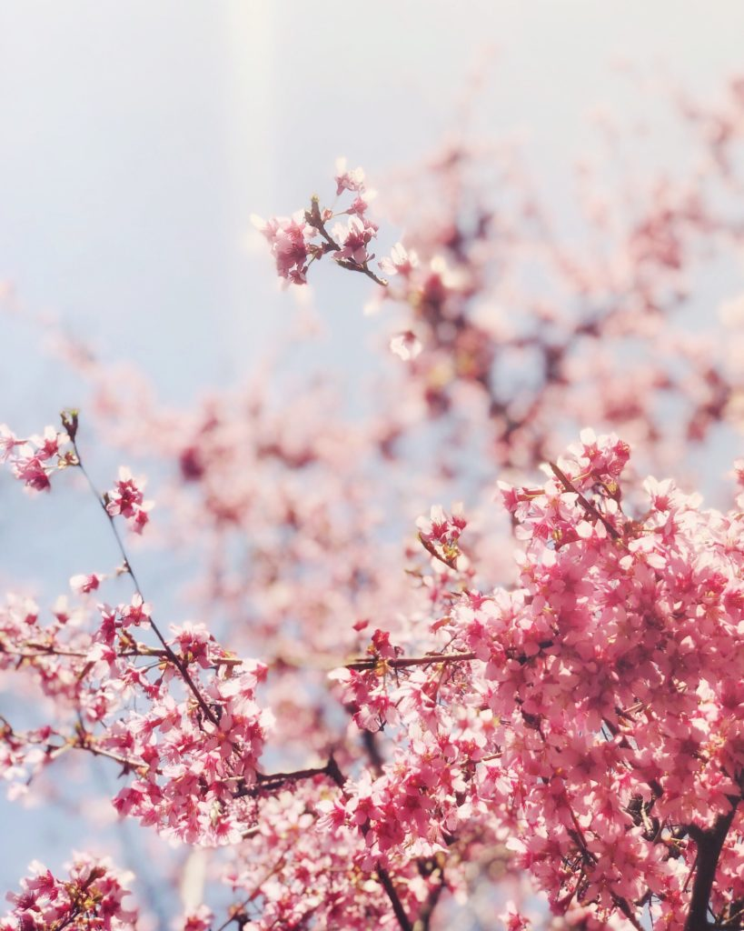 Pretty-pink-cherry-blossoms-nyc